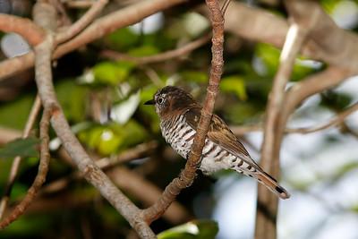 Gould's Little Bronze-Cuckoo