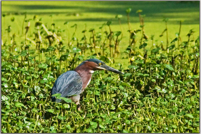 Little Green Heron in his world