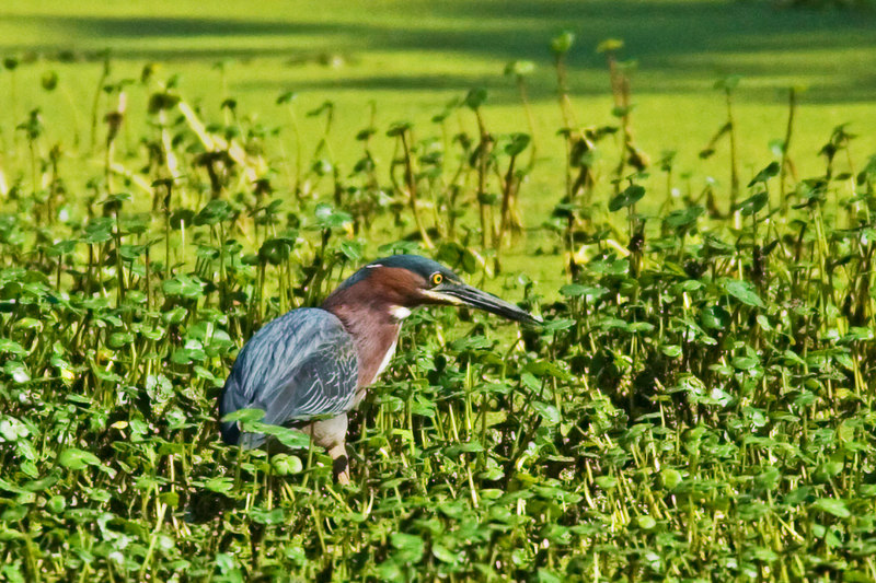 Little Green Heron looking for food