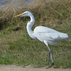 Great Egret<br /> Outer Banks, N.C.<br /> November 13, 2011