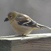Male American Goldfinch - winter plumage.<br /> January 21, 2012
