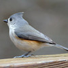 Tufted titmouse, 23 December, 2011.