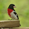 Male Rose-breasted Grosbeak at our feeder.<br /> May 2, 2011