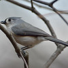 Tufted Titmouse<br /> January 26, 2012