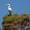 Great Egret<br /> November 13, 2011