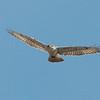 Ferruginous Hawk 2013 043