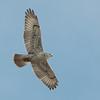 Ferruginous Hawk 2013 034