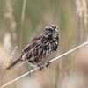 Song Sparrow 2013 026