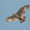 Ferruginous Hawk 2013 055