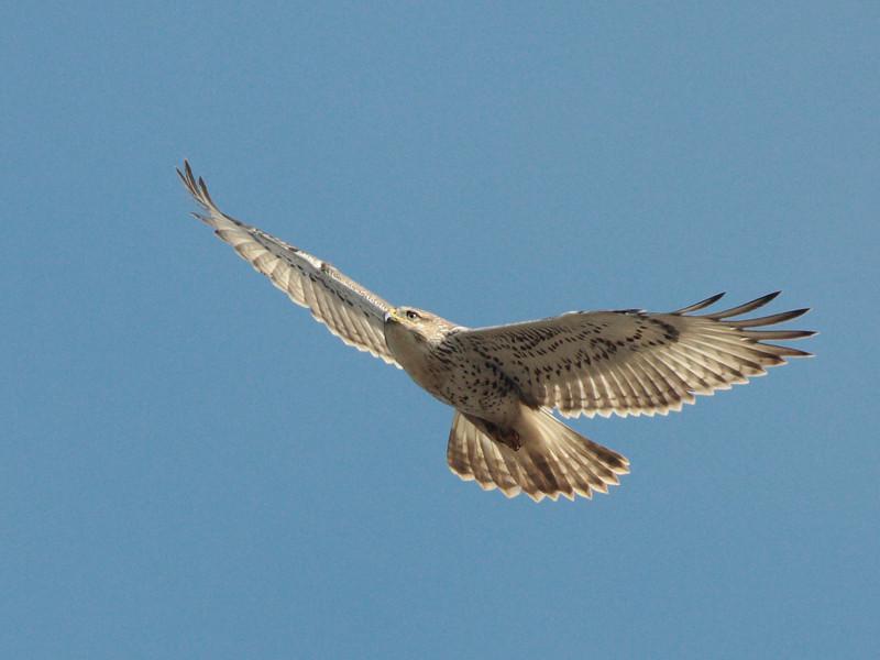 Ferruginous Hawk 2013 056