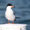 Forster's Tern 2012 349