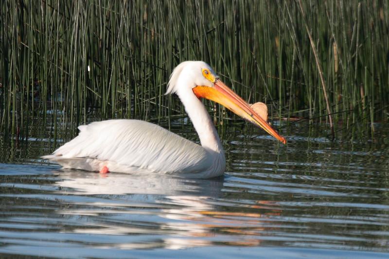 American Pelican 2012 153