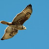 Ferruginous Hawk 2017 098