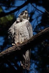 Peregrine Falcon 2017 014