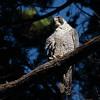 Peregrine Falcon 2017 008