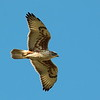 Ferruginous Hawk 2017 090