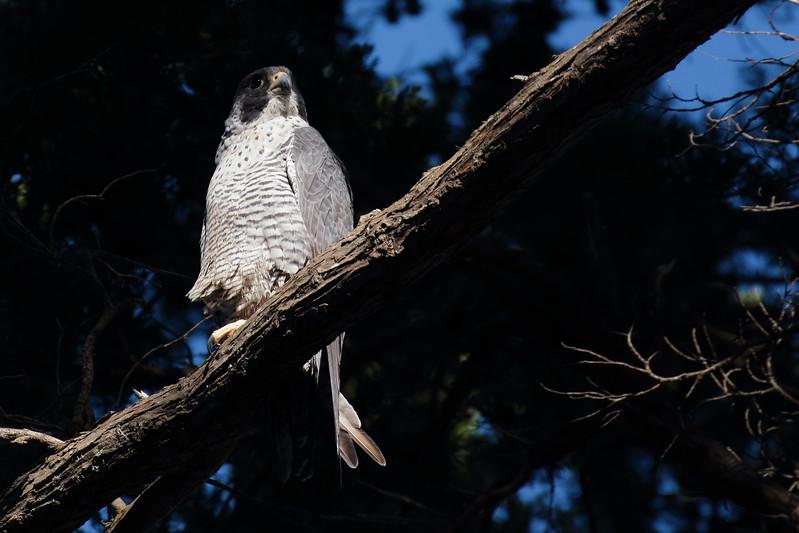 Peregrine Falcon 2017 036