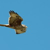 Ferruginous Hawk 2017 093