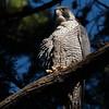 Peregrine Falcon 2017 011