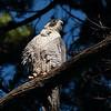 Peregrine Falcon 2017 020