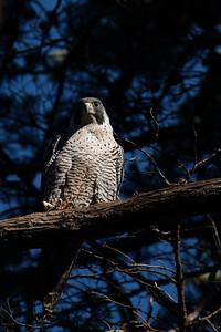 Peregrine Falcon 2017 006