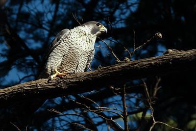 Peregrine Falcon 2017 003