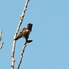 Costa's Hummingbird 2018 023