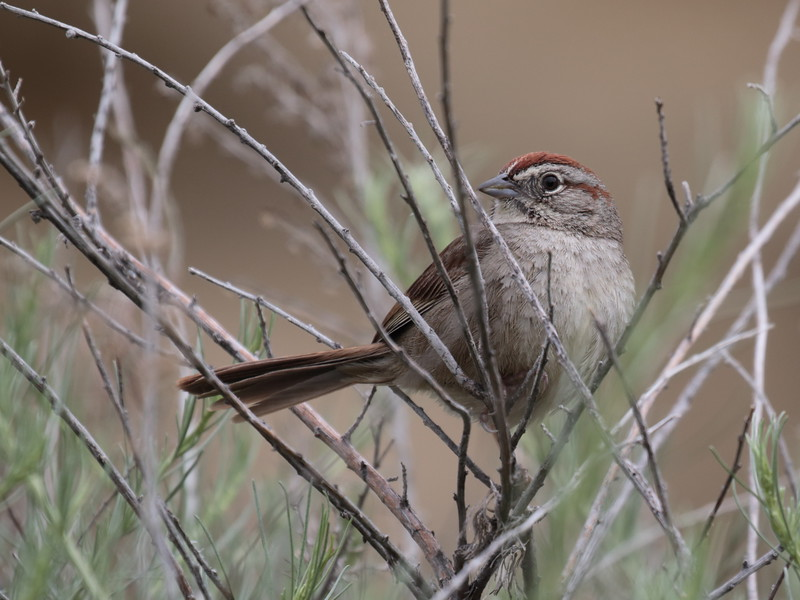 Rufous-crowned Sparrow 2018 014