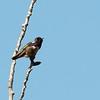 Costa's Hummingbird 2018 024