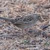 Golden-crowned Sparrow 2017 036