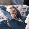 Golden-crowned Sparrow 2017 018