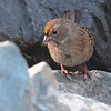 Golden-crowned Sparrow 2017 025