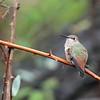 Allen's Hummingbird 2018 018