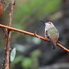 Allen's Hummingbird 2018 013