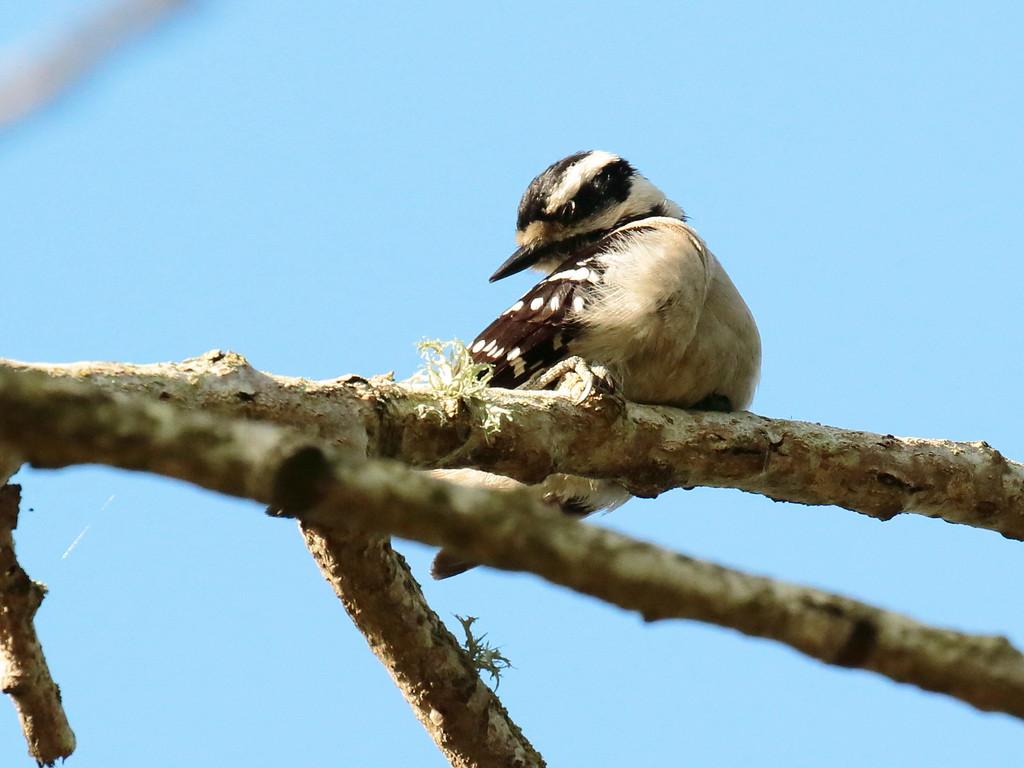 Downy Woodpecker 2017 042