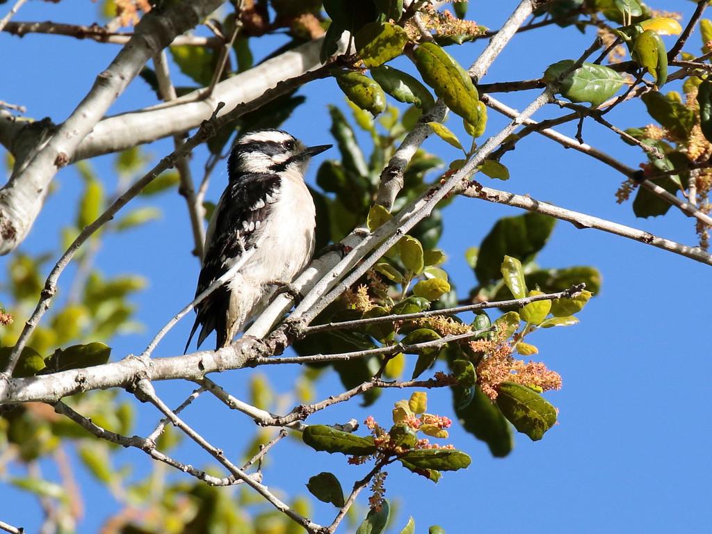 Downy Woodpecker 2017 049