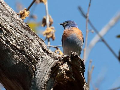 Western Bluebird 2017 150