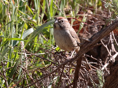 Rufous-crowned Sparrow 2017 124