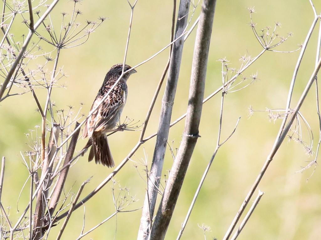 Grasshopper Sparrow 2017 134