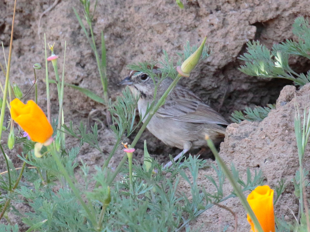Rufous-crowned Sparrow 2017 084