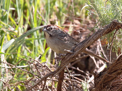 Rufous-crowned Sparrow 2017 107