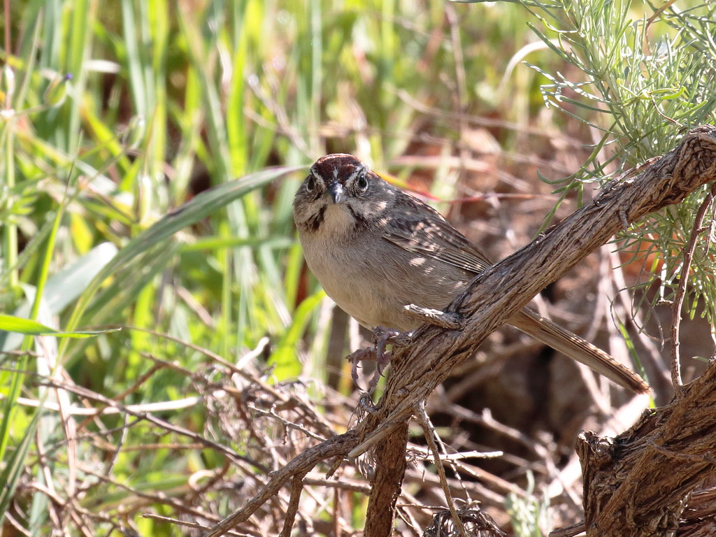 Rufous-crowned Sparrow 2017 109