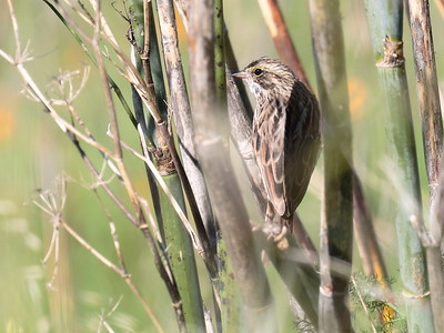Savannah Sparrow 2017 146