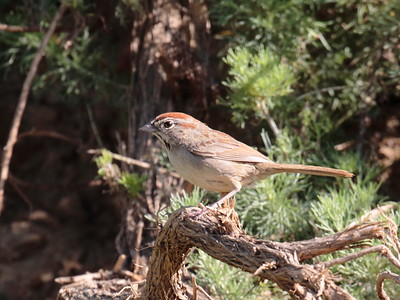 Rufous-crowned Sparrow 2017 128