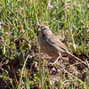 Rufous-crowned Sparrow 2017 100