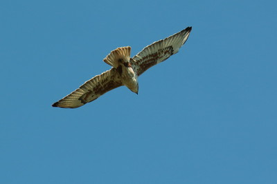 Ferruginous Hawk 2018 049