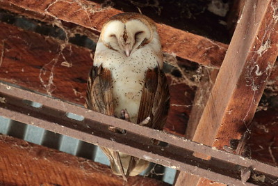 Barn Owl 2018 046