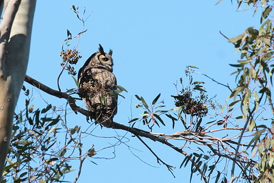 Great Horned Owl 2018 041