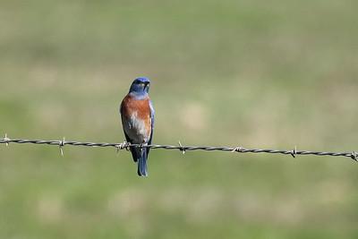 Western Bluebird 2018 056