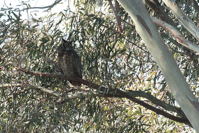 Great Horned Owl 2018 016
